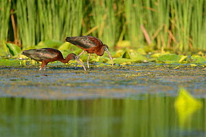 Glossy Ibises (Plegadis falcinellus) foraging in the Danube Delta, Romania. June  -  Zoltan Nagy