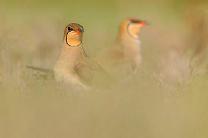 Common Pratincoles (Glareola pratincola) among salt marsh vegetation, near the Danube Delta and the coastal lagoons. Vadu, Romania, May.  -  Zoltan Nagy