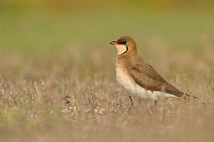 Common Pratincole (Glareola pratincola) among salt marsh vegetation, near the Danube Delta and the coastal lagoons. Vadu, Romania, May.  -  Zoltan Nagy