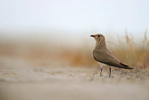 Common Pratincole (Glareola pratincola) among salt marsh vegetation, near the Danube Delta and the coastal lagoons. Vadu, Romania, June.  -  Zoltan Nagy