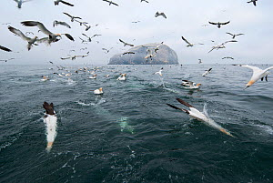 Northern gannets (Morus bassanus) diving for fish thrown from a fishing boat with the island of Bass Rock in the background. Scotland, June.  -  Zoltan Nagy