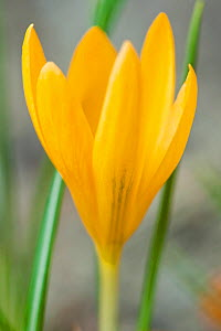 Dutch yellow crocus (Crocus flavus flavus) occurs in Eastern Europe and Turkey, flowering in a private garden in Bavaria, Germany.  -  Martin Gabriel