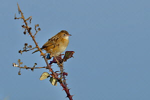 Zitting cisticola (Cisticola juncidis) perched on bramble, Breton marsh, France, January.  -  Loic  Poidevin