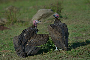 Two Lappet faced vultures (torgos tracheliotus) on ground, one with wings held partially open, Samburu, Kenya, October, Vulnerable species.  -  Loic  Poidevin