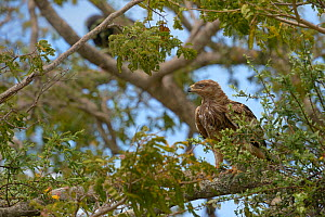 Tawny eagle (Aquila rapax) perched on branch, Samburu, Kenya, October.  -  Loic  Poidevin