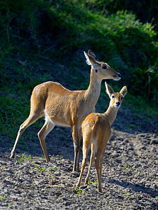 Female Bohor reedbuck (Redunca redunca) with young, Masai Mara, Kenya, October.  -  Loic  Poidevin