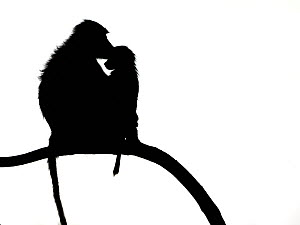 Yellow baboon (Papio cynocephalus) baby and mother on branch, silhouetted, Nakuru, Kenya, October.  -  Loic  Poidevin