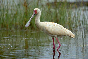 African spoonbill (Platalea alba) walking in shallow water, Samburu, Kenya, October. - Loic  Poidevin