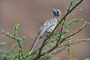 Grey hornbill (Tockus nasutus) on an Acacia branch, Samburu, Kenya, October.  -  Loic  Poidevin