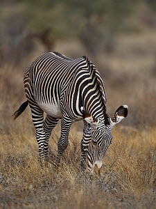 Grevy's zebra (Equus grevyi) grazing, Samburu, Kenya, October, Endangered species. - Loic  Poidevin