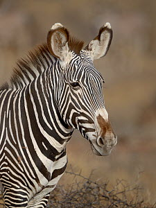 Grevy's zebra (Equus grevyi) portrait, Samburu, Kenya, October, Endangered species. - Loic  Poidevin