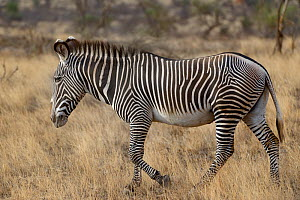 Grevy's zebra (Equus grevyi) walking, Samburu, Kenya, October, Endangered species. - Loic  Poidevin