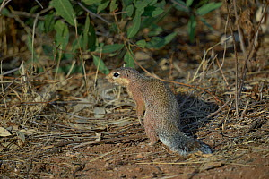 Unstriped ground squirrel (xerus rutilus) on ground, Masai Mara, Kenya, October.  -  Loic  Poidevin