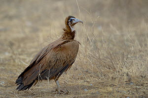 Hooded vulture (Necrosyrtes monachus) on dried out ground, Masai Mara, Kenya, October, Endangered species.  -  Loic  Poidevin