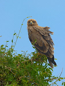 Tawny eagle (Aquila rapax) perched on branch in wind, Samburu, Kenya, October.  -  Loic  Poidevin
