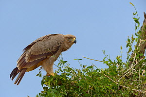 Tawny eagle (Aquila rapax) on branch, Samburu, Kenya, October.  -  Loic  Poidevin