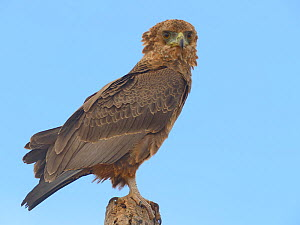 Tawny eagle (Aquila rapax) portrait, on branch, Samburu, Kenya, October.  -  Loic  Poidevin