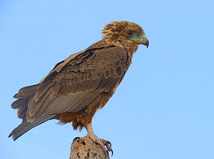 Tawny eagle (Aquila rapax) on banch, Samburu, Kenya, October.  -  Loic  Poidevin