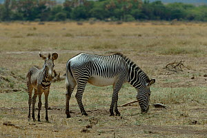 Grevy's zebra (equus grevyi) mother grazing with foal, Samburu, Kenya, October, Endangered species. - Loic  Poidevin