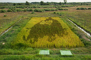 Tambo art in  ricefield ,  artistic creation with different varieties of rice recently developed in Japan, Camargue, France, September 2013. - Jean E. Roche