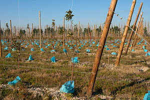 Apple tree orchard with plastic bags to protect them from rodents. Arles, France, December.  -  Jean E. Roche