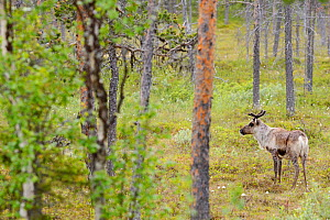 Reindeer / Caribou (Rangifer tarandus) amongst trees, Greater Laponia Rewilding Area, Lapland, Norrbotten, Sweden, June.  -  Wild  Wonders of Europe / Widstrand