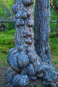 Two Scots pine (Pinus sylvestris) trunks, one deformed, old growth pine forest, Saltoluokta area, Greater Laponia Rewilding Area, Lapland, Norrbotten, Sweden, June. - Wild  Wonders of Europe / Widstrand