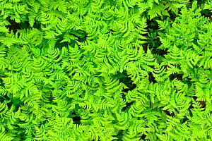 RF- Limestone oak fern (Gymnocarpium robertianum) leaves, Saltoluokta area, Greater Laponia Rewilding Area, Lapland, Norrbotten, Sweden, June. (This image may be licensed either as rights managed or r...  -  Wild  Wonders of Europe / Widstrand