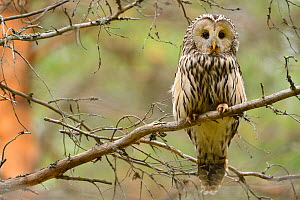 Ural owl (Strix uralensis) perched on branch, Greater Laponia Rewilding Area, Lapland, Norrbotten, Sweden, June.  -  Wild  Wonders of Europe / Widstrand