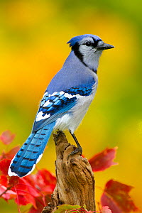 Blue jay (Cyanocitta cristata) portrait, New York, USA, October. - Marie  Read