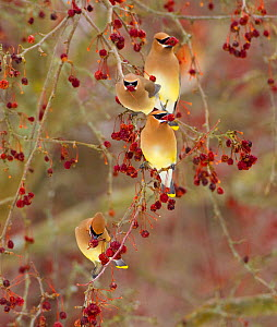 Four Cedar waxwings (Bombycilla cedrorum) feeding on Crabapple (Malus sp) fruit, Ithaca, New York, USA, February.  -  Marie  Read