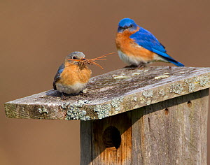 Eastern bluebird (Sialia sialis) pair on nest box roof, female carrying nest material (mainly pine needles) New York, USA, April. - Marie  Read