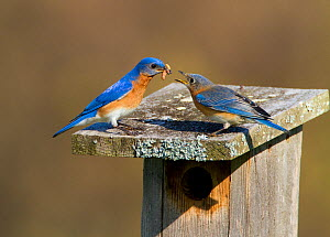 Eastern bluebird (Sialia sialis) pair on nest box roof, male feeding mealworms to female, New York, USA, April. - Marie  Read