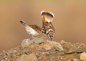 "Killdeer (Charadrius vociferus) male bowing and spreading tail feathers as his mate approaches, performing the ""Nest scrape ceremony"" as they investigate potential nest sites, New York, USA, April. - Marie  Read"