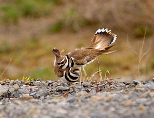 "Killdeer (Charadrius vociferus) male bowing and spreading his tail feathers as his mate approaches, performing the ""Nest scrape ceremony"" as they investigate potential nest sites, New York, USA, April... - Marie  Read"