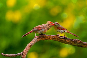 Female Northern cardinal (Cardinalis cardinalis) feeding fledgling (left) on branch, New York, USA, August.  -  Marie  Read