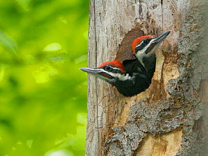 Two large Pileated woodpecker (Dryocopus pileatus) chicks near fledging age looking out of nest hole, New York, USA, May.  -  Marie  Read