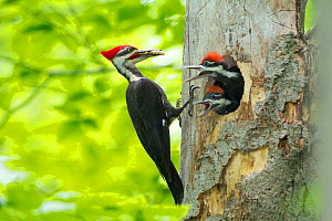 Male Pileated Woodpecker (Dryocopus pileatus) with beetle larva in beak about to feed two chicks, New York, USA, May.  -  Marie  Read