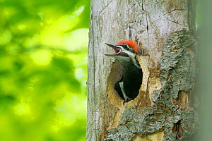 Pileated woodpecker (Dryocopus pileatus) chick looking out of nest cavity calling, giving adult-like call, New York, USA, May.  -  Marie  Read