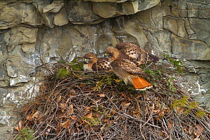 Red tailed hawk (Buteo jamaicensis) pair at nest on cliff, New York, USA, March.  -  Marie  Read