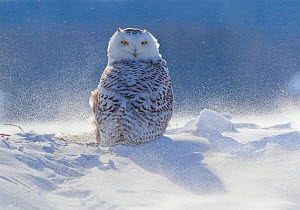Female Snowy owl (Nyctea scandiaca) backlit surrounded by blowing snow, near Georgian Bay, Ontario, Canada  -  Marie  Read