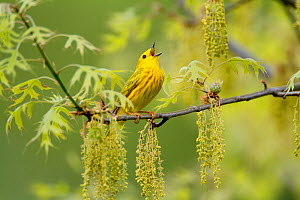 Male Yellow warbler (Setophaga / Dendroica petechia) in breeding plumage singing amongst oak catkins and leaves, New York, USA, May.  -  Marie  Read