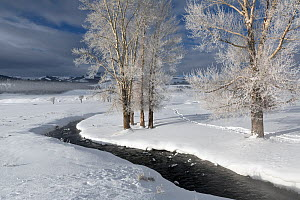 Rose Creek and trees in snow,Lamar Valley, Yellowstone National Park, Wyoming, USA, January 2014.  -  Kirkendall-Spring