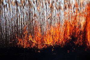 Wild fire over Phragmites reed beds, Marievale Bird Sanctuary, South Africa, June 2013.  -  Richard Du Toit
