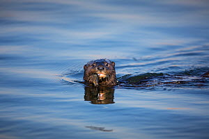 Spotted-necked Otter (Lutra maculicollis) feeding on fish, Marievale Bird Sanctuary, South Africa, July.  -  Richard Du Toit