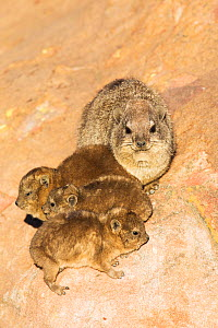 Rock hyrax (Procavia capensis) with young, Marakele National Park, South Africa, August.  -  Richard Du Toit