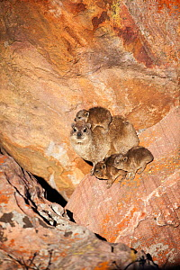 Rock hyrax (Procavia capensis) mother with young, Marakele National Park, South Africa, August.  -  Richard Du Toit
