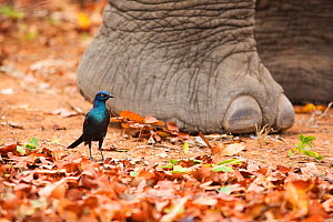 Cape Glossy Starling (Lamprotornis nitens) on ground by African elephant (Loxodonta africana) foot, Kruger National Park, Limpopo Province, South Africa, October.  -  Richard Du Toit