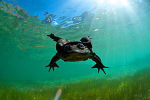 Titicaca water / Lake Titicaca frog (Telmatobius culeus) swimming towards camera looking into the lens, Lake Titicaca, Bolivia, October, Critically endangered.  -  Bert  Willaert