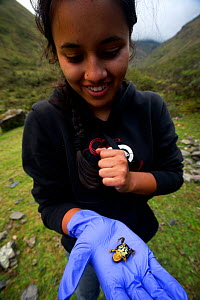 Biology student holding one of the largest known specimens of (Pscyhrophrynella illimani) Bolivia, November 2013, Critically endangered, Model released.  -  Bert  Willaert